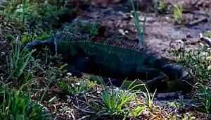 Ağaçlardan yapraklar değil, iguana düşüyor