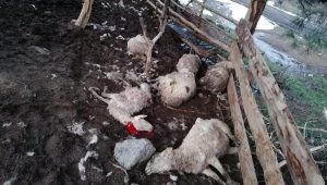 Ağıla giren köpekler 10 koyunu telef etti
