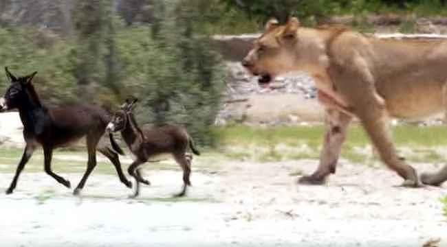 Aslanların arasına düşen eşek sürüsü, ağır kayıp verdi