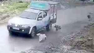 Belediye aracıyla köpeği ezdi, Büyük tepki topladı