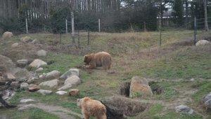 Kış ayının sıcak geçmesi boz ayıların uykusunu kaçırdı - Bursa Haberleri