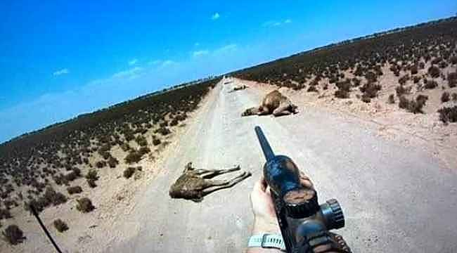 Yetkililer sayı verdi... İşte Avustralya'da 5 günde öldürülen deve sayısı