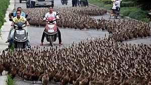 Çin, Pakistan'a yardım amaçlı 100 bin ördek yolluyor