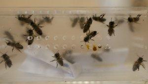 Hastalıklara şifa arı iğnesi - Bursa Haberleri