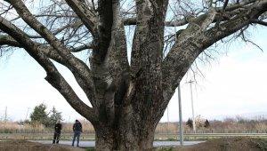 'Künye ağaç' bakım bekliyor - Bursa Haberleri