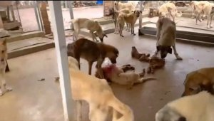 Barınakta aç kalan köpekler birbirine yedi