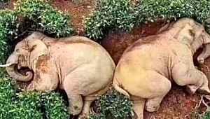 Karantina sonrası boş kalan köylere girdiler, filler litrelerce alkollü içince sızıp kaldı