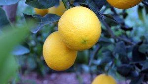 Korona, limon fiyatlarını fırlattı