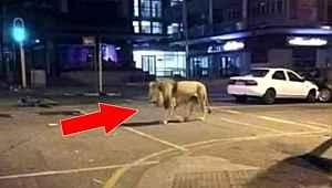 Rusya'dan sokaklara aslan bırakıldığı iddialarına ayı şakasıyla cevap geldi
