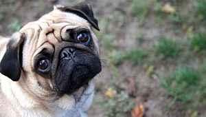 ABD'de evcil bir köpekte koronavirüs tespit edildi