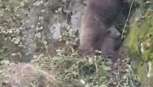 Anne ayının yavrularını kurtarma mücadelesi