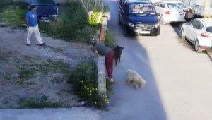 Domuzlar gündüz vakti sokağa inmeye başladı