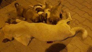 Göz yaşartan manzara... Öldürülen köpeği yavruları kaldırmaya çalıştı