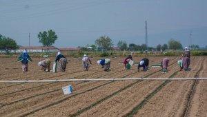 Karacabey'de bu yıl 1,3 milyon ton domates hasat edilecek - Bursa haberleri