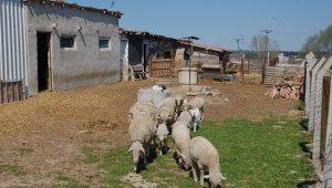 Köpekleri kemikle besleyip, 20 koyunu çaldılar