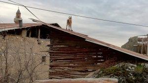 O ilçede vatandaşlar evde kaldı, yaban keçileri çatıya kadar çıktı