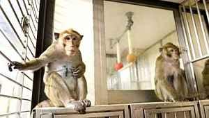 Oxford'un geliştirdiği aşı, maymunlar üzerinde olumlu sonuçlar verdi