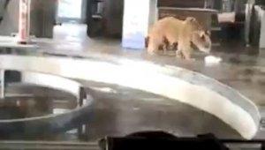 Uludağ'da aç kalan ayılar teleferiğe indi - Bursa Haberleri