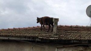 Ahırdan kaçan buzağı çatıya çıktı