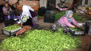 Boyalıca'nın meşhur nâzende fasulyesi çıktı - Bursa Haberleri