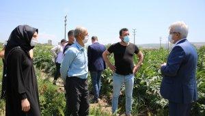 Bursa'da enginarın tarlada kalmaması için çalışma başlatıldı - Bursa Haberleri