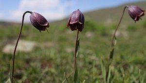 Erzurum dağlarında açan ters laleler görenleri büyülüyor
