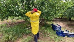 Hırsızlar 3 tane kiraz ağacının tüm meyvelerini toplayıp kaçtı - Bursa Haberleri