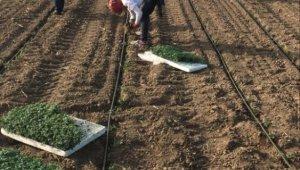 Mevsimlik tarım işçileri Karacabey'e geldi - Bursa Haberleri