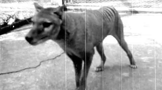 Soyu tükenmiş olan Tazmanya Kaplanı'nın görüntüleri 85 yıl sonra ortaya çıktı
