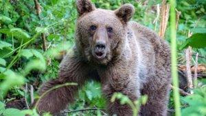 Uludağ'da kapana yakalanan ayı böyle kurtarıldı - Bursa Haberleri