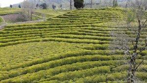 Yaş çay üreticileri yaş çay taban fiyatını beğendi