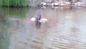 Bingöl'de su samuru görüldü