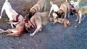 Çoban köpekleri, sürüye saldıran kurdu perişan etti