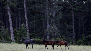Dağda yaşayan yabanî atlar böyle görüntülendi - Bursa Haberleri