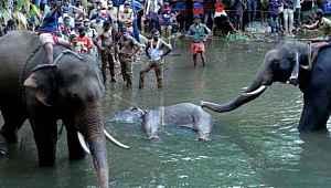 İnsanlığın bittiği an... Hamile fil, içi barut dolu ananası yedikten sonra öldü