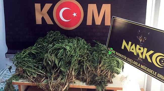 İzmir'de uyuşturucu operasyonunda 774 kök Hint keneviri ele geçirildi