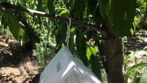 Lapseki'de, Akdeniz sineğiyle mücadele