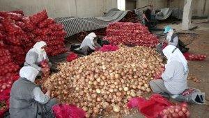 Nilüfer Belediyesi'nden soğan üreticisine destek - Bursa Haberleri