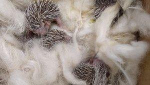 Yavru kirpiler, koruma altına alındı