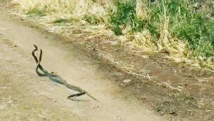 Yılanların dansı kamerada