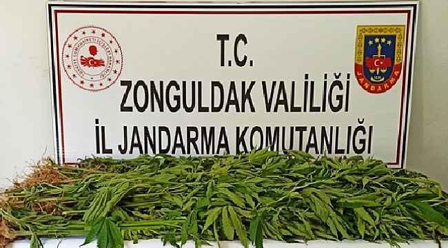 Zonguldak'ta 143 kök kenevir ele geçirildi