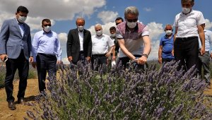 Arguvan Belediyesi'nden Lavanta hasat günü
