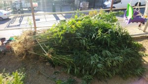 Bahçede Hint keneviri, kümeste esrar ele geçirildi