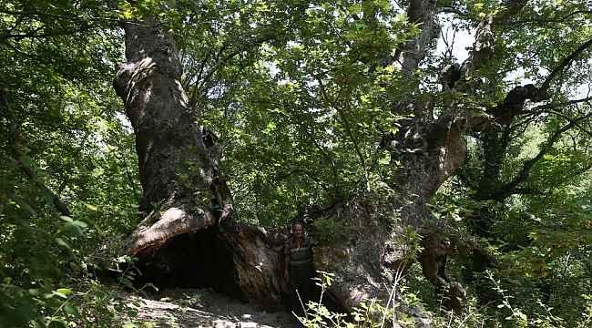 Define bulmak için 700 yıllık çınarı talan edip yaktılar - Bursa Haberleri