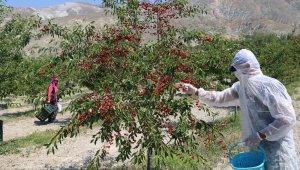 Erzincan'da vişne hasadı başladı