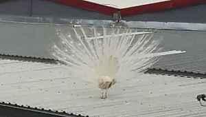 Fabrikanın çatısına tavus kuşu kondu, görenler hayretler içinde kaldı - Bursa Haberleri
