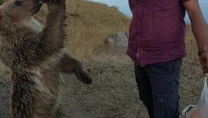 Nemrut'un maskotu kardeş ayılardan biri kayıp
