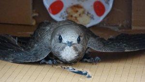 Odaya giren ebabil kuşu görenleri şaşkına çevirdi - Bursa Haberleri