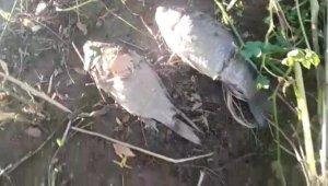 Sakarya nehrinde balık ölümleri arttı