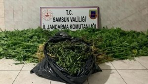 Samsun'da kenevir yetiştiren 2 şahıs suçüstü yakalandı